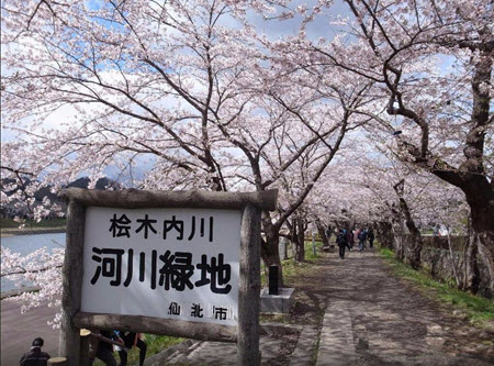 桜開花情報2016:桧木内川堤